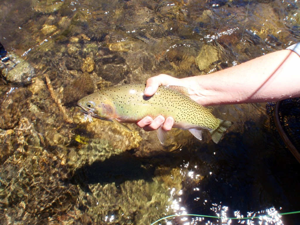 Nice first cuttie on a fly rod!